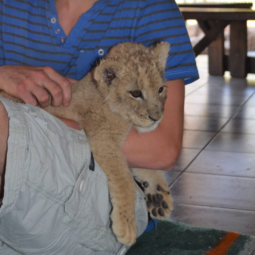 Petting a baby lion