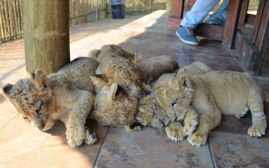 Petting baby lions