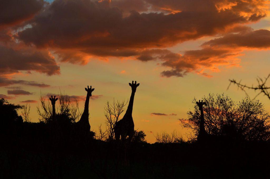 zonsondergang met giraffen